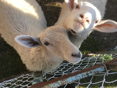 Nos moutons affectueusement surnommés les Poopsies!